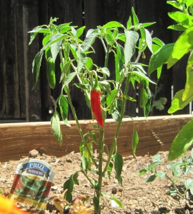 july peppers 03